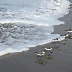 Sanderlings_2015